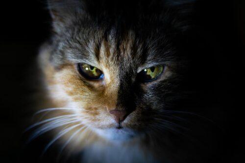 厳しい眼差しで見つめる猫