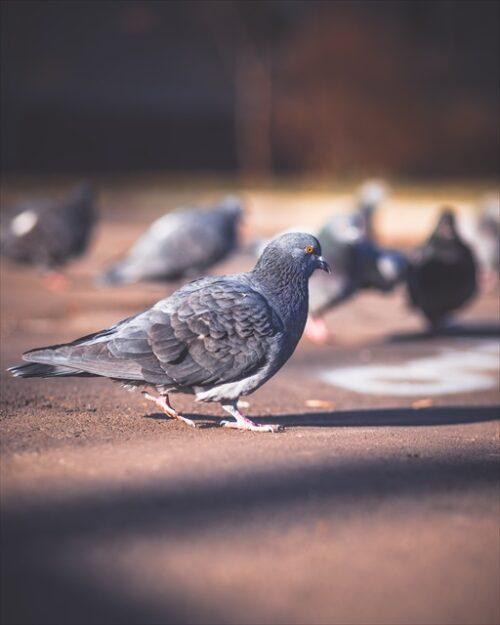近づいてくる鳩