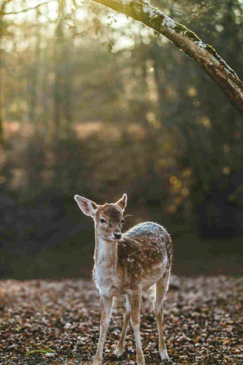 朝日の中にたたずむ子鹿