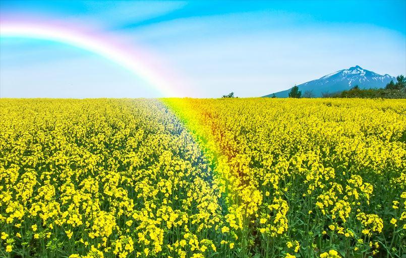 菜の花畑と虹