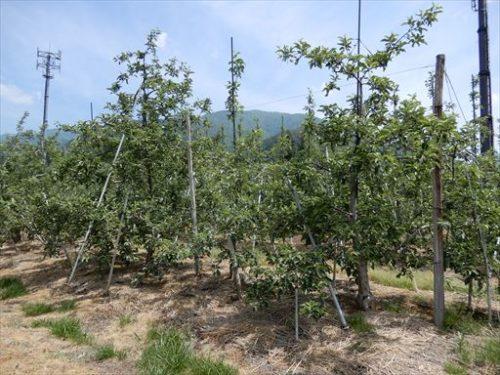 矮化りんご