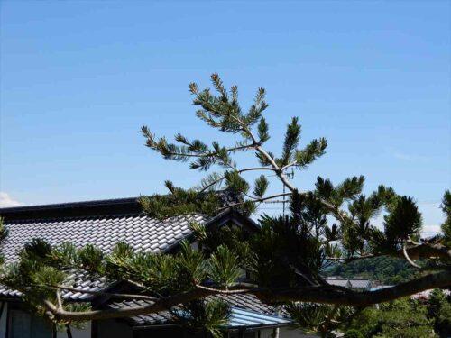 五葉松の枝先