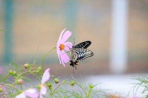 アゲハ蝶とコスモス