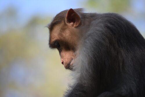 うなだれて反省する猿