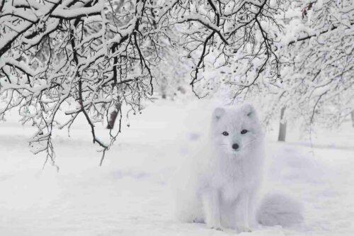 こっちを見ている白いきつね