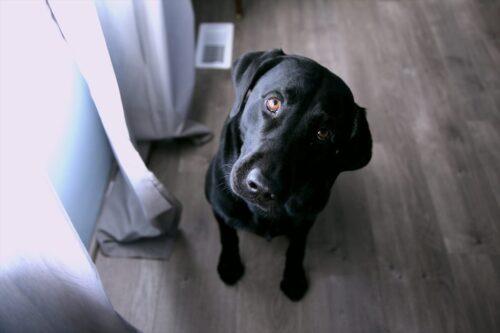 何かを問いただすような目の黒犬
