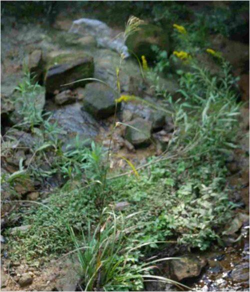 アブラガヤ(別名道草)の画像