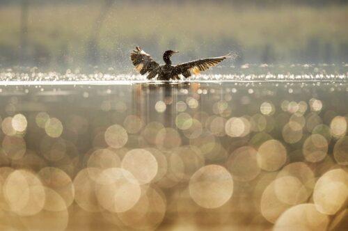 朝の水面から飛び立とうと羽ばたく鳥